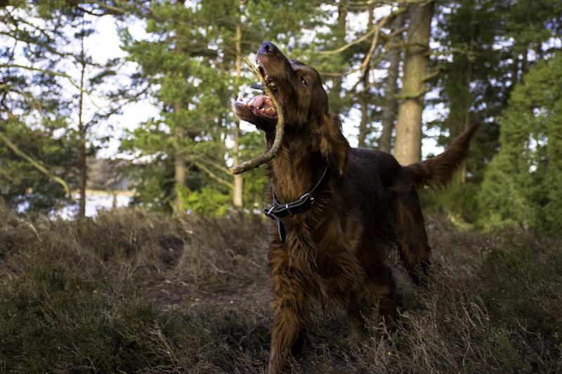 Seter irlandzki - pies rasowy