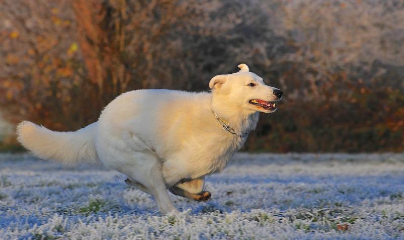 Pies - biały owczarek szwajcarski